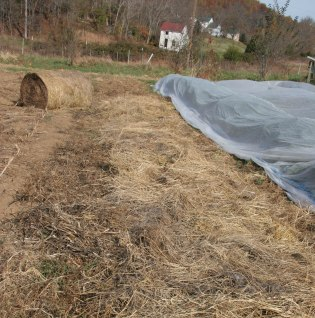 Hay mulch on the garlic