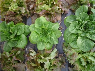 Pretty little lettuces