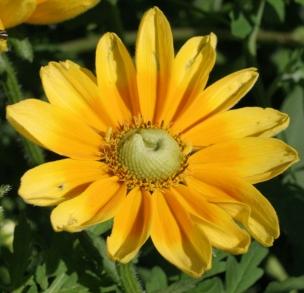 """Rudbeckia """"Prairie sun"""""""