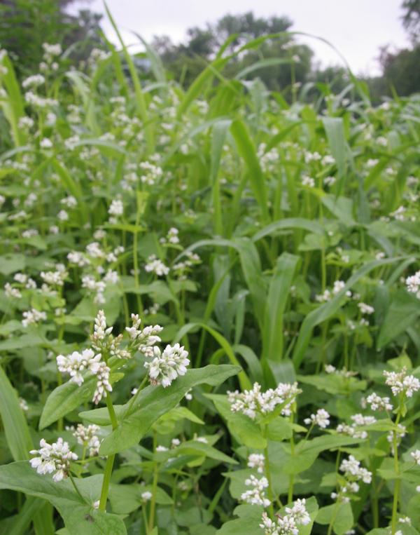 White-flowered buckwheat growing with sorghum-sudan grass