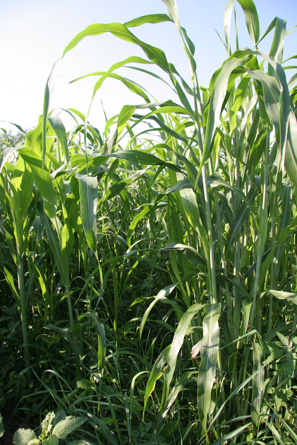 I looks like corn, but it's sorghum-sudan grass. Hopefully this is as tall as you will ever see it.